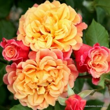 rose_orange_kletterrose_aloha_kordes_01_1_2